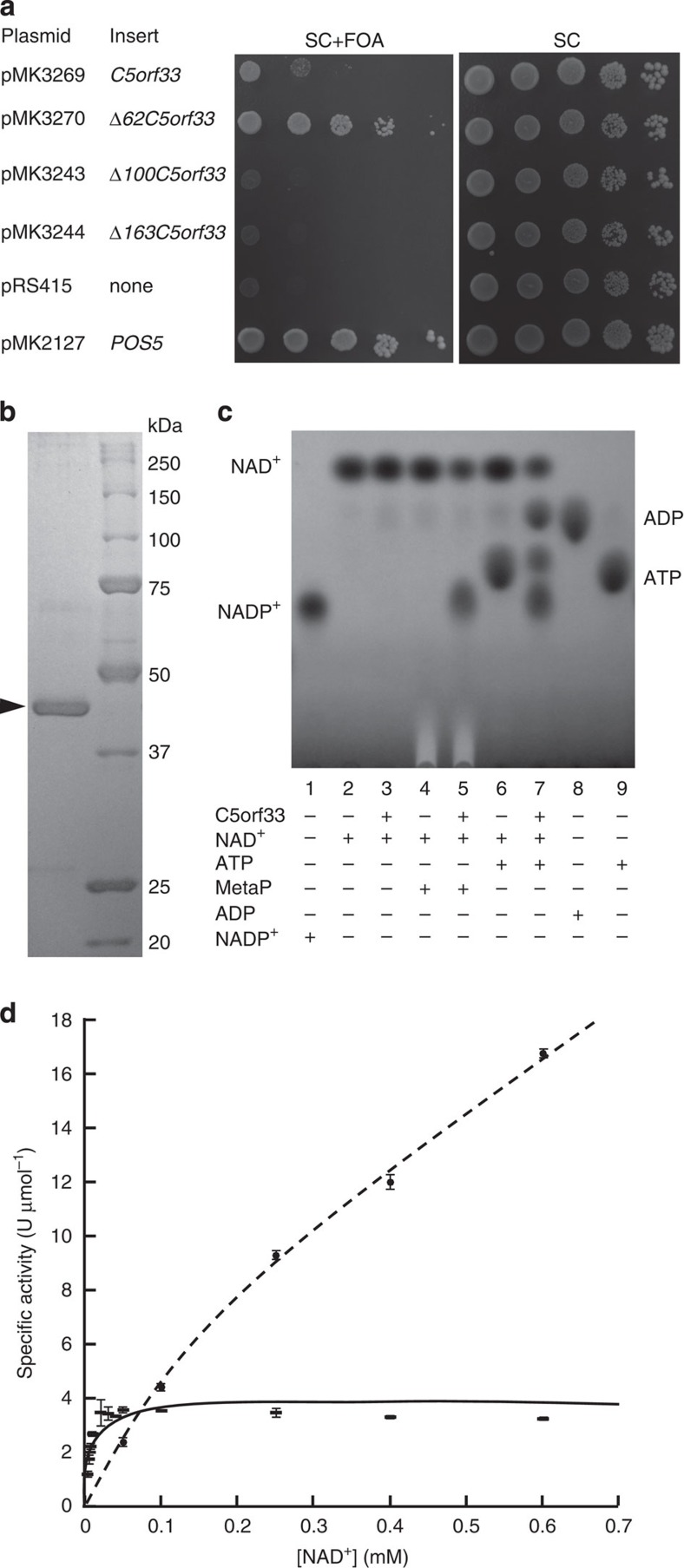 NADK activity of C5orf33 protein. ( a ) In vivo assay of NADK activity of C5orf33 protein. S. cerevisiae MK1598 cells (an NADK triple mutant having YCplac33- UTR1 ) carrying the indicated plasmids were spotted onto the solid media and were incubated at 30 °C for 4 days. C5orf33 protein was less effective than Δ62C5orf33 protein in reverting the lethality. We speculate that this is because in the yeast, human C5orf33 is less able to supply cytosolic NADP + than the yeast mitochondrial Pos5 itself. ( b ) SDS–PAGE of purified C5orf33 protein (arrowhead; 43 kDa). ( c ) NADK activity of purified C5orf33 protein analysed by TLC in the presence (+) or absence (−) of indicated compounds as described in the Methods. ( d ) Saturation curves for NAD + of purified human NADK (dashed line) 29 and C5orf33 protein (line) determined under 8 and 2 mM ATP, respectively. The specific activity (U μmol−1; 1 μmol NADP + produced per 1 min and 1 μmol subunit of the enzyme) was calculated using the subunit molecular mass of C5orf33 protein (45 kDa) or human NADK (43 kDa) ( Table 1 ). Each point represents the average of three determinations; error bars represent s.d.
