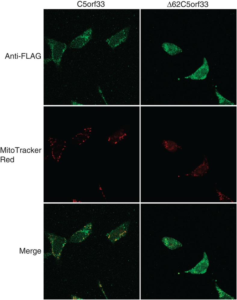 Localization of C5orf33 protein in mitochondria of human cells. HEK293A cells were transiently transfected with plasmid expressing C terminally FLAG-tagged C5orf33 or Δ62C5orf33 protein. The cells were fixed and immunostained with a rabbit anti-FLAG primary antibody and AlexaFluor 488-conjugated anti-rabbit secondary antibody. Mitochondria were stained with MitoTracker Red.