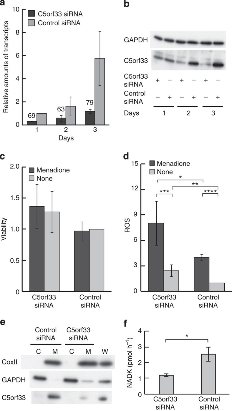 siRNA transfection. HEK293A cells were transfected with siRNA#2 against C5orf33 protein (C5orf33 siRNA) or control siRNA, and incubated for 1, 2 and 3 days. ( a ) Levels of C5orf33 mRNA in the transfected cells are shown as relative values normalized against the level in control siRNA-transfected cells incubated for 1 day after transfection. Knockdowns of 69, 63 and 79% relative to the control, as indicated, were obtained. ( b ) Expression of C5orf33 protein in the transfected cells. Proteins were analysed by western blotting using anti-C5orf33 and anti-GAPDH antibodies. ( c ) Viability. Transfected cells incubated for 3 days were treated with 12.5 μM menadione (black bar) or vehicle (0.62% (v/v) dimethyl sulfoxide (DMSO), grey bar) for 20 h, and viability was measured using calcein AM as in Supplementary Methods . Viability was also measured using MTT as in Supplementary Fig. S5 . ( d ) Intracellular ROS levels. Transfected cells incubated for 3 days were incubated with 10 μM 5-(and-6)-chloromethyl-2′,7′-dichlorodihydrofluorescein diacetate, acetyl ester (CM-H2DCFDA) for 30 min, and then treated without (grey bar) or with (black bar) 100 μM menadione for 30 min; intracellular ROS was measured as described in Supplementary Methods . t -test; * P =0.0085, ** P =0.0026, *** P =0.0022, **** P =0.0044 × 10 −4 . Viability and intracellular ROS levels are presented as relative values normalized against their respective levels in control siRNA-transfected cells not treated with menadione; each independent experiment was conducted in duplicate ( c , d ). ( e ) Mitochondrial and cytosolic fractions of HEK293A cells that had been incubated for 3 days after transfections. Mitochondrial (M; 1.9 μg) and cytosolic (C; 1.9 μg) fractions and whole cells (W; from 3.3 × 10 4 transfected HEK293A cells) were analysed by western blotting using anti-CoxII, anti-GAPDH and anti-C5orf33 antibodies. CoxII and GAPDH are mitochondrial and cytosolic markers, respectively 49 . ( f ) NADK activit
