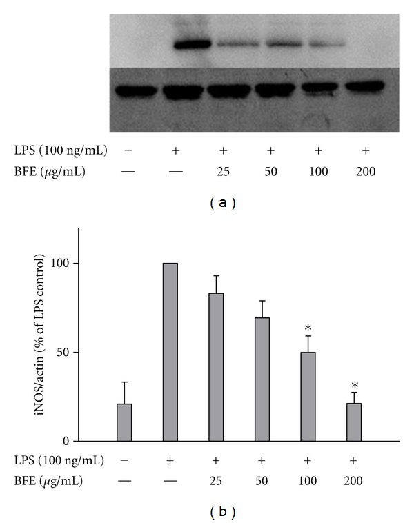 (a) BFE inhibited iNOS protein expression in LPS-stimulated primary microglia. Cells were stimulated with LPS (100 ng/mL) in the presence or absence of BFE (25–200 μ g/mL) for 24 h. At the end of incubation period, iNOS protein levels were measured using western blot using specific antibodies for each protein. (b) Quantitative densitometric analysis of iNOS protein expression normalized to actin loading control. All values are expressed as mean ± SEM for 3 independent experiments. Data were analysed using one-way ANOVA for multiple comparison with post-hoc Student Newman-Keuls test. * P