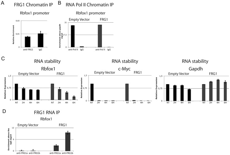 FRG1 regulates the stability of the Rbfox1 mRNA. (a) ChIP of FRG1 in the promoter region of the Rbfox1 gene. (b) The distribution of RNA pol II on C2C12- EV and C2C12- FRG1 cells in the promoter region of the Rbfox1 gene. (c) Real-time RT-PCR of the kinetics of Rbfox1 , c-Myc and Gapdh expression after 8 hours of ActD (Actinomycin D) treatment on C2C12- EV and C2C12- FRG1 cells. (d) RNA-IP experiment on samples from (c) using anti-FRG1 antibodies or control IgG antibodies. Immunoprecipitated material was analyzed by real-time RT-PCR, normalized versus the relative input and plotted as fold enrichment versus the IgG. RT-minus control experiments showed the absence of DNA contamination (data not shown).