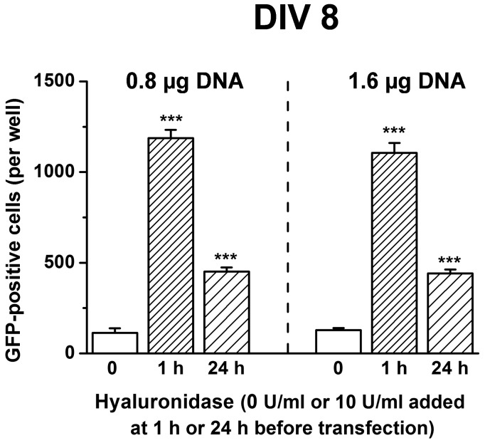Transfection efficiency of neuronal cultures is increased when preceded with Hyaluronidase treatment. Neuronal cultures were transfected with Lipofectamine2000™ and two different amounts of DNA (0.8 and 1.6 µg DNA), resulting in similar transfection efficiencies, with both transfections strongly enhanced by hyaluronidase treatment. Pretreating cultures 1 h before transfection was more effective than treatment 24 h before transfection. (N = 4 per group) ***p