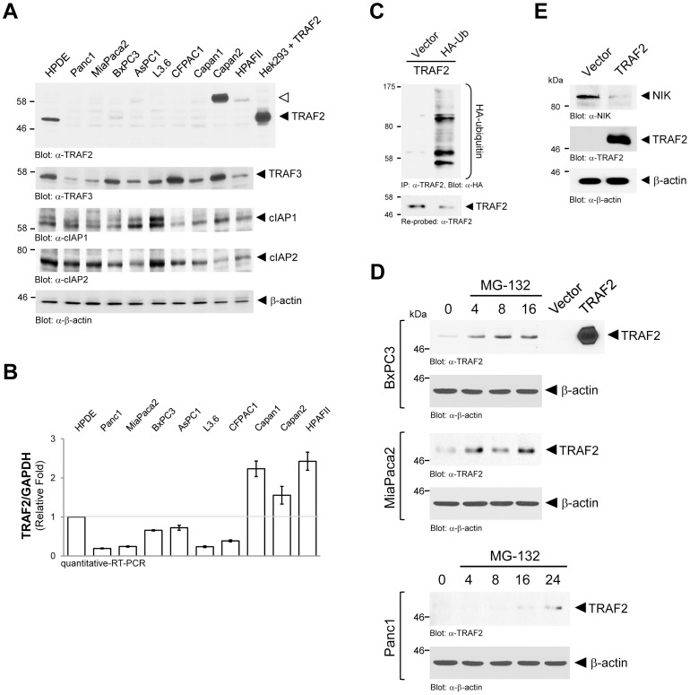 TRAF2 expression is downregulated in PDAC cell lines. A: Cell lysates of indicated cells were normalized to 0.5 mg/ml and then 20 µg were subjected to SDS-PAGE. Samples were transferred to nitrocellulose and analyzed by Western blot for expression of TRAF2 (anti-TRAF2), TRAF3 (anti-TRAF3), cIAP1 (anti-cIAP1), cIAP2 (anti-cIAP2) or β-actin (anti-β-actin; loading control). TRAF2 overexpressed in Hek293 cells served as an additional molecular weight control. B: Samples of mRNA of indicated cell lines were subjected to quantitative RT-PCR directed against TRAF2. Samples were normalized to GAPDH. C: Panc1 cells (5×10 5 cells, 6 cm dishes) were co-transfected with TRAF2 and vector control or HA-ubiquitin. After 24 hours cells were lysed, TRAF2 immunoprecipitated (anti-TRAF2) and analyzed by immunoblotting for ubiquitination of TRAF2 (anti-HA). Blots were re-probed for TRAF2 (anti-TRAF2). D: Indicated cell lines were treated with MG-132 (20 µM) for 0, 4, 8, 16 or 24 hours. Cells were lysed and analyzed for expression of endogenous TRAF2 (anti-TRAF2) or β-actin (anti-β-actin; loading control. TRAF2 overexpressed in Hek293 cells served as positive control. E: Panc1 cells (5×10 5 cells, 6 cm dishes) were transfected with vector control or TRAF2 as indicated. After 24 hours cell lysates were analyzed by Western blotting for expression of NIK (anti-NIK), overexpressed TRAF2 (anti-TRAF2) or β-actin (anti-β-actin) as loading control.