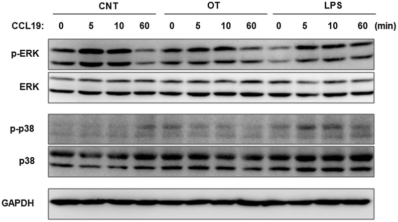 Differential activation of MAP kinases in O. tsutsugamushi -infected DCs upon exposure to CCL19. DCs were stimulated with O. tsutsugamushi (OT), or LPS for 18 h and then further incubated with CCL19 (200 ng/ml) for the indicated times. The activation of ERK and p38 MAP kinases was assessed by immunoblot using specific anti-phospho-ERK1/2 or phospho-p38 MAP kinases antibodies. ERK1/2, p38, and GAPDH were used as loading controls. CNT: immature DCs.