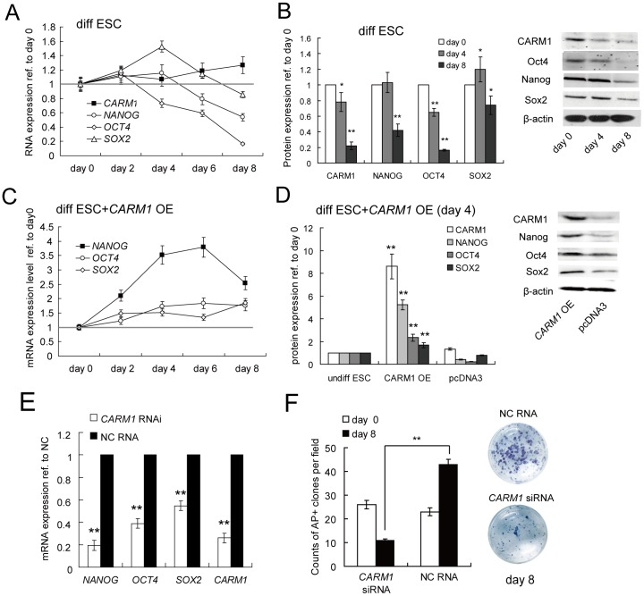 CARM1 is down-regulated post-transcriptionally during hESC differentiation. (A, B) The kinetic expression levels of CARM1 , Nanog , Sox2 , and Oct4 in differentiated hESCs. Human ESCs differentiation was induced by the addition of BMP4 in the absence of bFGF. The expression levels of CARM1 , Nanog , Sox2 , and Oct4 at the mRNA (A) and protein levels (B) were quantified by qRT-PCR and Western blotting, respectively. *, p