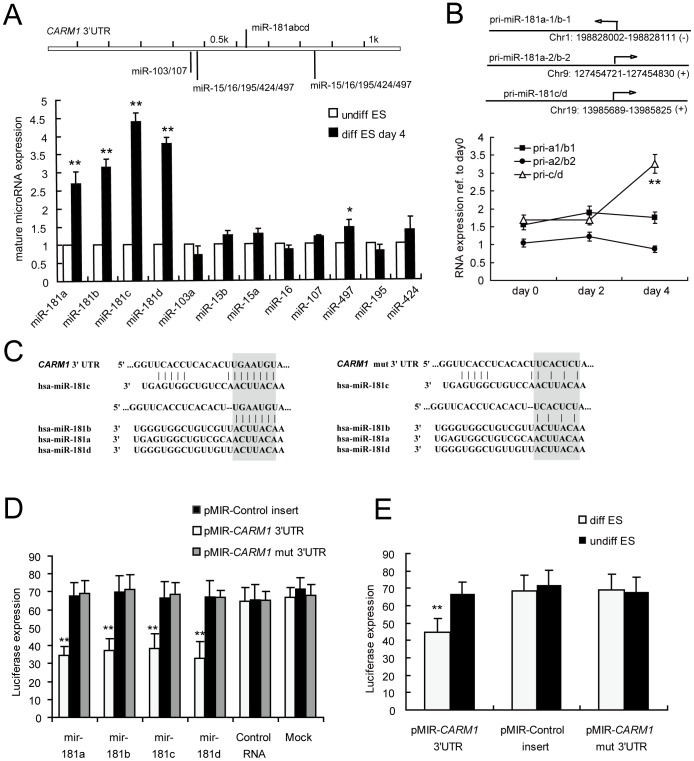 The miR-181 family directly regulates CARM1 expression in hESC. (A) The expression levels of mature miRNAs predicted to target the CARM1 3′UTR were monitored in differentiated ESCs by qRT-PCR and normalized to endogenous U6 expression. *, p