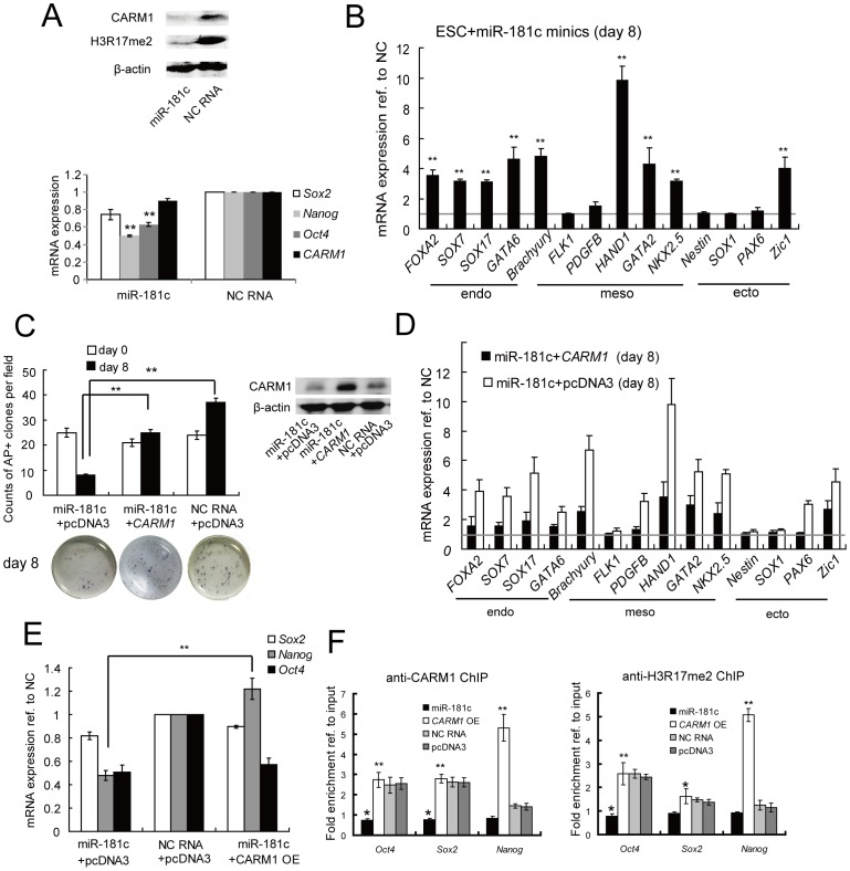 miR-181c leads to hESC differentiation through negative regulation of CARM1 and H3R17 methylation. (A) Overexpression of miR-181c down-regulated CARM1 expression in comparison to negative control (NC) RNA-transfected ESCs at both the mRNA and protein levels, as determined by qRT-PCR and Western blotting, respectively. H3R17 methylation level and Oct4 , Nanog and Sox2 mRNA expression were also monitored. Samples were assayed in duplicate (n = 3) and normalized to endogenous β-actin expression. **, p