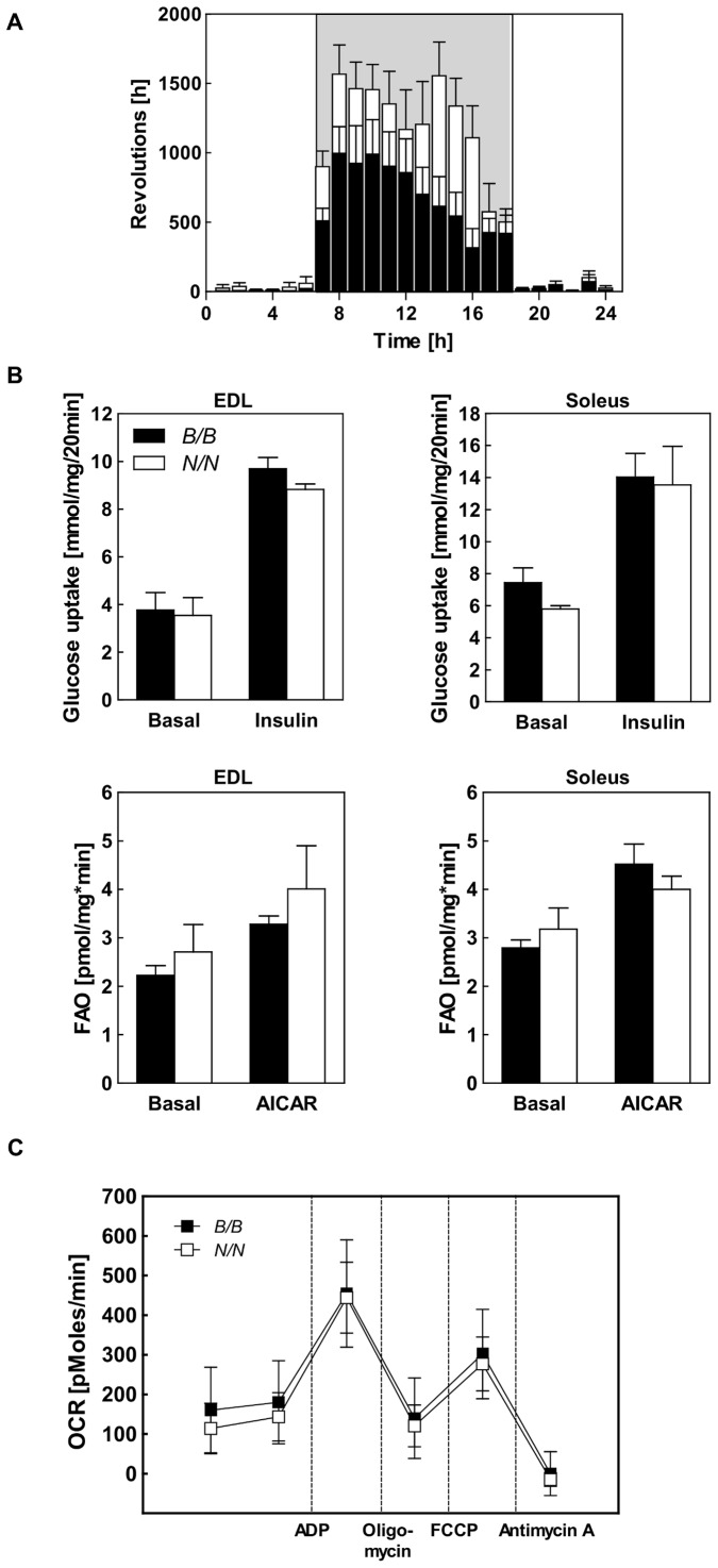 Characterization of voluntary activity and the metabolism of skeletal muscle of Nob3.38 B/B and Nob3.38 N/N mice. (A) Voluntary activity of B/B and N/N mice detected with a running wheel over 24 h (n = 13). (B) Glucose uptake into isolated skeletal muscle under basal and insulin-stimulated conditions (upper panel) and palmitate oxidation (lower panel) in isolated skeletal muscle under basal and AICAR stimulated conditions (EDL, left panels; Soleus, right panels) of B/B and N/N mice. (C) Characterization of mitochondrial respiration by determination of oxygen consumption rate of isolated mitochondria from skeletal muscles of B/B and N/N mice (n = 4–6).