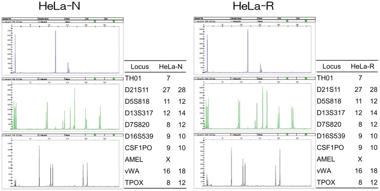 The STR analysis to confirm the identity of HeLa cells. Left and right panels show the data on HeLa-N and HeLa-R cells, respectively. Graphs were images generated by GeneMapper ver. 3.5 (Applied Biosystems). The allele data were presented as a table on the right side of each image. Locus indicates the name of gene analyzed. It is indicated that the gene presented by one datum was homo and the gene presented by two data was hetero.
