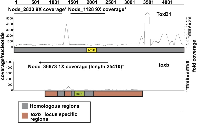 Read mapping to and de novo assembly of ToxB - and toxb -containing loci in the genome of Pyrenophora tritici-repentis . Schematic of Illumina sequence reads (line graph) of isolate DW7-ToxB mapped to the ToxB1 locus (top: ToxB1 locus; accession number: AY425480.1) and of SD20-NP mapped to the toxb locus (bottom: toxb locus; accession number: AY083456.2). Coverage depth per nt is indicated on the left and fold coverage is indicated on the right. Straight lines above the graphs depict the contigs present in the de novo assemblies of the Illumina-sequenced isolates. The arrow on the contig above the toxb locus shows how that contig extends beyond the locus.