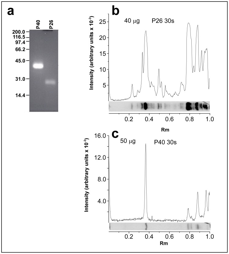 Ligand-blotting analysis of the interaction between recombinant polypeptides P40 and P26 with proteins from whole worm extracts. Forty µg of recombinant P40 and P26 were labeled with fluorescein, subjected to SDS-PAGE and photographed under a short-UV lamp (a). Whole worm extract was subjected to SDS-PAGE (T = 10%) and transferred onto Hybond C membranes. Membrane strips containing the fractionated extract were incubated with fluorescein-labeled P40 (50 µg; 1125 pmoles)(b) and P26 (40 µg; 1520 pmoles) (c). After extensive washing, the bound recombinant fluorescein-labeled polypeptides were detected using an anti-fluorescein antibody labeled with peroxidase. The peroxidase activity was detected using chemiluminescence. The chemiluminescence reaction was exposed to Hyperfilm ECL (GE Healthcare Bio-Sciences Corp., Piscataway, NJ, USA) for 30 s in both experiments.