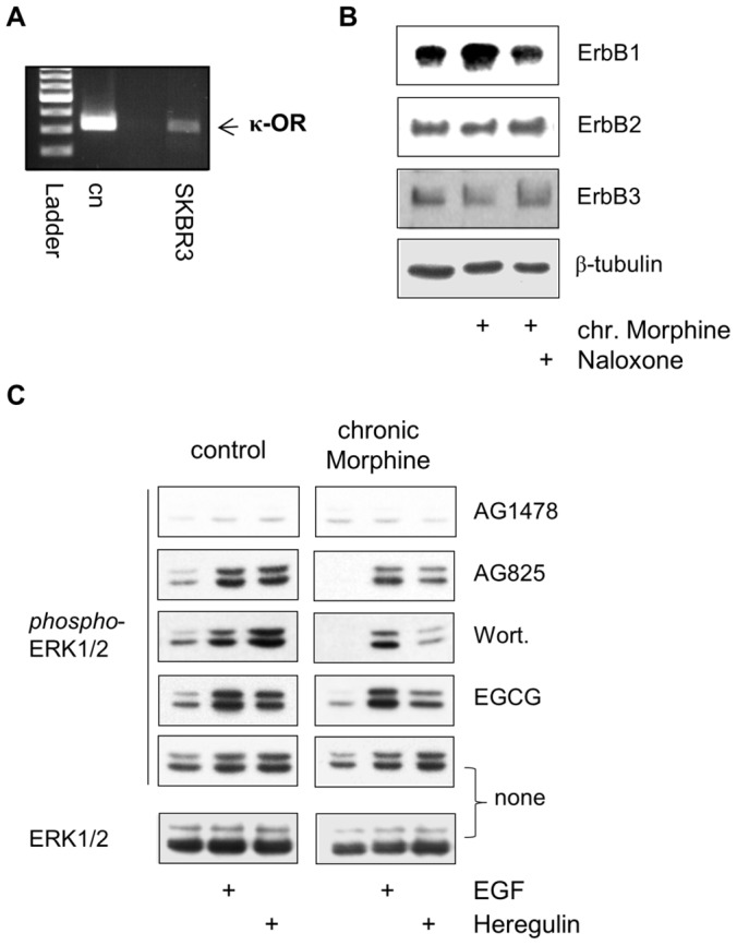 Regulation of ErbB signalling by chronic Morphine in SKBR3 cells. ( A ) Identification of κ-opioid receptors in SKBR3 human mammary adenocarcinoma cells by RT-PCR. Reactions contained 10 ng of cDNA from SKBR3 cells or plasmid pcDNA3.1 containing the cloned receptor. A 322 bp fragment of the κ-opioid receptor is present in the cells (arrow). Ladder: 100 bp. ( B ) Regulation of ErbB receptor abundance by chronic Morphine treatment. Cells were cultured for 3 d in the presence or absence of Morphine (10 µM) and Naloxone (100 µM), before membranes were prepared and ErbB receptors were determined by Western blot using antibodies specific for ErbB1 (175 kDa), ErbB2 (185 kDa) and ErbB3 (185 kDa). Equal protein loading was determined using an antibody against β-tubulin. ( C ) Effect of chronic Morphine treatment on ErbB1- and ErbB3-stimulated ERK1/2 signalling. SKBR3 cells were cultured for 3 d in the absence (control) or presence of Morphine (10 µM), before the impact of protein inhibitors AG1478 (ErbB1), AG825 (ErbB2), Wortmannin (Wort; PI3K) and EGCG (metalloproteinases) on basal, EGF (100 ng/ml)- and Heregulin (40 ng/ml)-stimulated ERK1/2 phosphorylation was determined by Western blot. Controls were kept in the absence of protein inhibitors (none). Total ERK1/2 was determined using an overall reactive antibody.