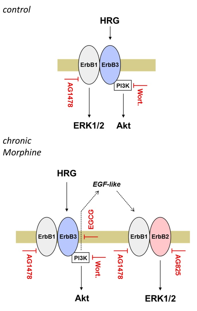 Model of chronic Morphine-induced changes in ErbB signalling. The scheme depicts the differences in Heregulin-stimulated ErbB signalling in control and chronically Morphine-treated BT474 cells. In control cells, stimulation with Heregulin leads to activation of ERK1/2 and Akt signalling via ErbB1/ErbB3 heterodimers. While AG1478 blocks both Heregulin-stimulated ERK1/2 and Akt signalling, inhibition of PI3K by Wortmannin specifically prevents Akt signalling. Because ErbB3 phosphorylation and PI3K activation is dependent on the presence of a dimerized ErbB member with catalytic activity, these results indicate that Heregulin-stimulated ERK1/2 signalling is predominantly mediated through ErbB1. The failure of Wortmannin to affect ERK1/2 activation in control cells further implicates that Heregulin stimulates Akt signalling via ErbB3. Chronic Morphine treatment alters mitogenic signalling by rearrangement of ErbB heterodimers. Whereas Heregulin still stimulates Akt signalling via ErbB1/ErbB3, ERK1/2 signalling is now accomplished by ErbB1/2 heterodimers. These are activated indirectly by an EGF-like ligand liberated from Heregulin in a PI3K (Wortmannin)- and metalloproteinase (EGCG)-dependent manner.