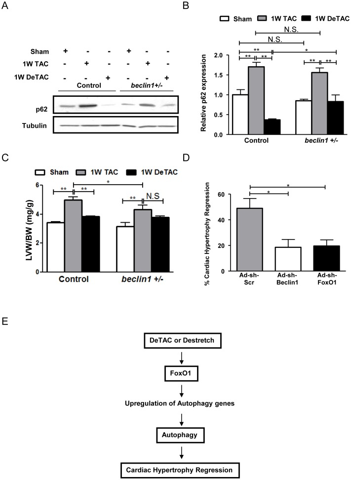 FoxO1 and autophagy are required for regression of cardiac hypertrophy. Control C57BL/6 mice and mice with heterozygous knockout of Beclin1 ( beclin1+/− ) were subjected to 1W TAC and 1W DeTAC surgeries. A) Representative immunoblots. B) Densitometric analyses. C) Left ventricular weight/body weight (LVW/BW). D) Cultured cardiomyocytes were transduced with Ad-sh-Scr, Ad-sh-Beclin1 and Ad-sh-FoxO1 and subjected to mechanical stretch/de-stretch. The percentage reduction in relative protein content after de-stretch compared to after stretch is represented as % regression of cardiac hypertrophy in vitro . E) A scheme showing the proposed hypothesis of this study. * p