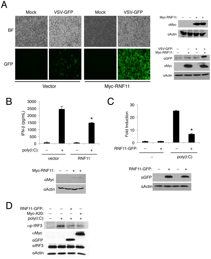 RNF11 is a negative regulator of virus-induced IFN-β production. (A) Micrographs of 293T cells transfected with either empty vector or Myc-RNF11 and then infected with VSV-GFP (MOI of 0.1) 24 h later. Pictures were taken 24 h post-infection. Immunoblotting was conducted with protein lysates using anti-Myc, anti-GFP and anti-Actin (right panel). (B) MEFs were transfected with either empty vector or Myc-RNF11 and were transfected again with poly(I:C) (15 μg) 24 h later. An IFN-β ELISA was performed 16 h later using supernatants. Immunoblotting was conducted with anti-Myc and anti-Actin. (C) 293T cells were transfected with an IFN-β luciferase reporter (200 ng), pRL-tk (20 ng), empty vector (1 µg) or RNF11-GFP (1 µg). Cells were transfected 24 h later with poly(I:C) (15 µg) and dual luciferase assays were performed after 16 h. Immunoblotting was conducted with protein lysates using anti-GFP and anti-Actin. (D) 293T cells were transfected with RNF11-GFP (1 μg) and Myc-A20 (1 μg) and then transfected 24 h later with poly(I:C) (20 µg). Immunoblotting was performed with anti-p-IRF3, anti-Myc, anti-GFP, anti-IRF3 and anti-Actin.