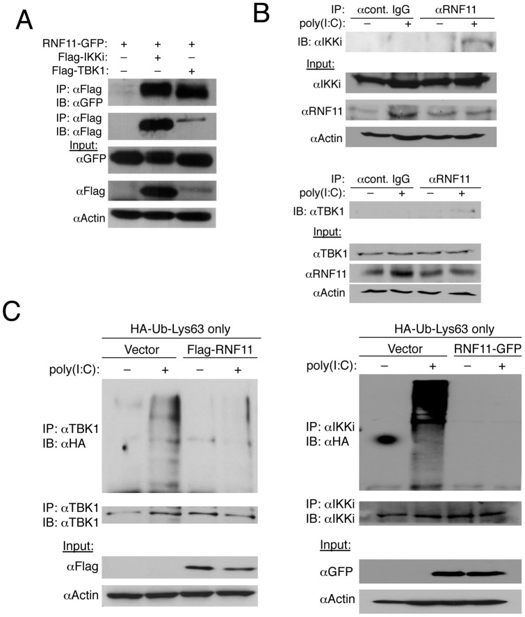 RNF11 interacts with TBK1/IKKi and blocks their Lys63-linked polyubiquitination. (A) 293T cells were transfected with 1 µg of RNF11-GFP, Flag-IKKi and Flag-TBK1. Co-IPs were conducted using anti-Flag for IP followed by immunoblotting with anti-GFP and anti-Flag. Immunoblotting was performed with lysates using anti-GFP, anti-Flag and anti-Actin. (B) 293T cells were transfected with poly(I:C) (20 μg) and co-IPs were performed with anti-RNF11 or isotype control IgG followed by immunoblotting with anti-IKKi (top panel) or anti-TBK1 (lower panel). Immunoblots were also performed with lysates using anti-IKKi, anti-RNF11, anti-TBK1 and anti-Actin. (C) 293T cells were transfected with empty vector, Flag-RNF11 or RNF11-GFP (1 µg) and HA-Ub-Lys63-only (500 ng). Cells were transfected again 24 h later with poly(I:C) (20 μg) and co-IPs were conducted the next day using anti-TBK1 (left panel) or anti-IKKi (right panel) followed by immunoblotting with anti-HA, anti-TBK1 (left panel) and anti-IKKi (right panel). Immunoblotting was performed with lysates with anti-Flag, anti-GFP and anti-Actin.