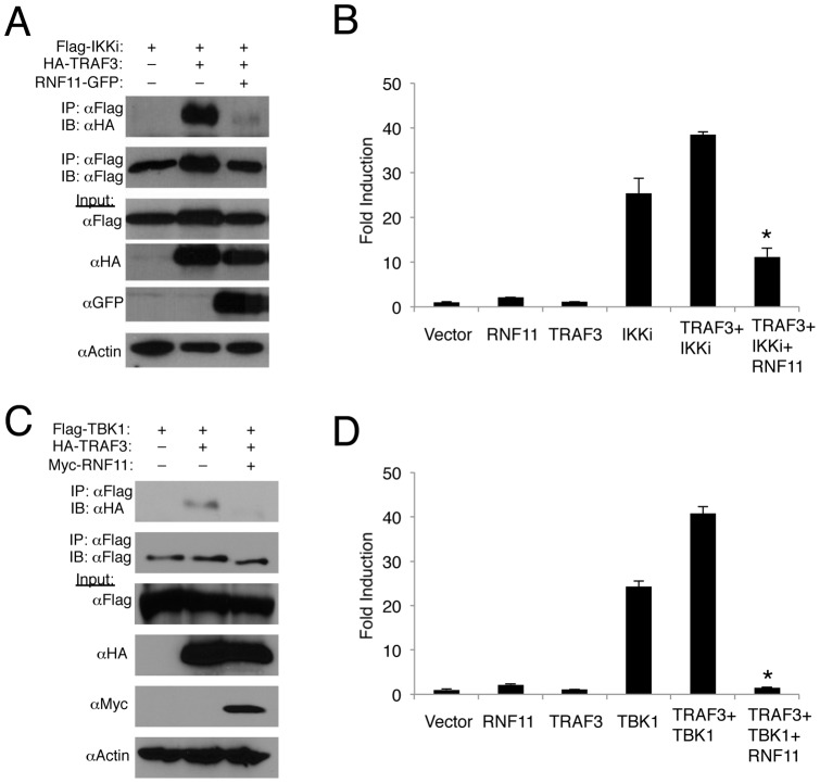<t>RNF11</t> disrupts the interaction between TRAF3 and TBK1/IKKi. (A, C) 293T cells were transfected with 1 μg of either HA-TRAF3, Flag-IKKi, Flag-TBK1 or RNF11-GFP. Co-IPs were conducted using anti-Flag followed by immunoblotting with anti-HA and anti-Flag. Immunoblotting was performed with lysates using anti-Flag, anti-HA, anti-GFP and anti-Actin. (B, D) 293T cells were transfected with IFN-β luciferase reporter (200 ng), pRL-tk (20 ng), and 1 µg of RNF11, TRAF3, IKKi or TBK1. Dual luciferase assays were performed with protein lysates 24 h later. *, p