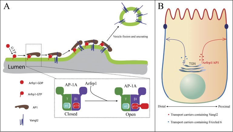 Proposed model. ( A ) Model depicting Arfrp1- and AP-1-mediated TGN sorting of <t>Vangl2.</t> Arfrp1 is recruited to TGN membranes upon <t>GTP</t> binding, possibly mediated by a TGN localized GEF. Subsequently, GTP-bound Arfrp1 recruits AP-1 to TGN membranes. GTP-bound Arfrp1 also promotes an open conformation of AP-1 that directly interacts with the tyrosine motif on Vangl2 cytosolic domain, thereby enriching Vangl2 in budding vesicles. Binding of Vangl2 cytosolic domain to AP-1, in turn, stabilizes the membrane association of AP-1 to allow sufficient time for AP-1 polymerization (possibly with clathrin as a coat outer layer) and vesicle budding. This model is consistent with reports showing that tyrosine sorting motifs promote membrane recruitment of AP-1 mediated by Arf1 ( Crottet et al., 2002 ; Lee et al., 2008 ). ( B ) The asymmetrically localized PCP signaling molecules, including Vangl2 and Frizzled 6, are sorted by different sorting machineries for export from the TGN. Differential TGN sorting and polarized trafficking of these signaling receptors may contribute to their asymmetric distribution and the laterally polarized organization of epithelial cells. DOI: http://dx.doi.org/10.7554/eLife.00160.017