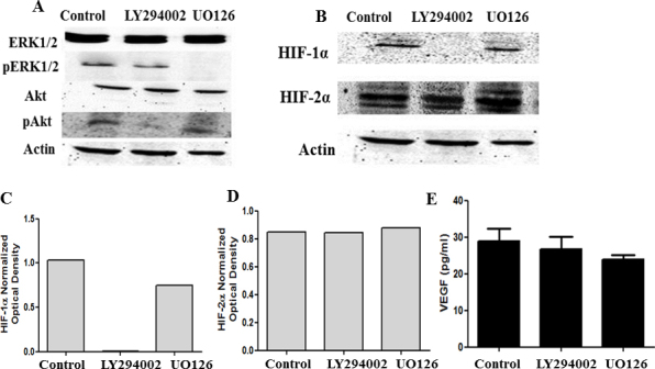 Inhibition of pERK or pAkt does not affect VEGF expression. Western blot analysis of ERK1/2 and Akt phosphorylation inhibition on HIF-1α, HIF-2α, or downstream VEGF expression in hypoxia. HLE-B3 cells were incubated with 25 µM of LY294002 or 10 µM UO126 in 0.05% DMSO for 8 h under hypoxia. Control cells were incubated in serum-free media with 0.05% DMSO. Cell lysates were collected for western blot analysis, and cell-free supernatants were collected for ELISA. LY294002 blocked Akt phosphorylation without interrupting pERK, while UO126 prevented ERK phosphorylation without interfering with pAkt ( A ). Inhibition of Akt phosphorylation suppressed HIF-1α expression, but HIF-2α levels remained unchanged. Inhibition of ERK1/2 phosphorylation did not repress HIF-1α and HIF-2α expression ( B ). C and D represent the corresponding densitometry analysis. Neither phosphorylation inhibitor diminished VEGF synthesis relative to control cells ( E ). One-way ANOVA analysis was performed to compare the VEGF levels between the control and the LY294002- or UO126-treated samples, and the p value was > 0.05.