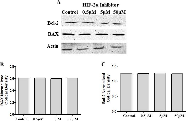 Inhibition of HIF-2α does not influence BAX or Bcl-2 levels. Cell lysates collected from cells treated with 0.5 µM, 5 µM, and 50 µM of HIF-2α translation inhibitor were analyzed with western blot analysis for BAX and Bcl-2 levels. There was no change in the protein levels of BAX and Bcl-2 ( A ). B and C represent the corresponding densitometry analysis.