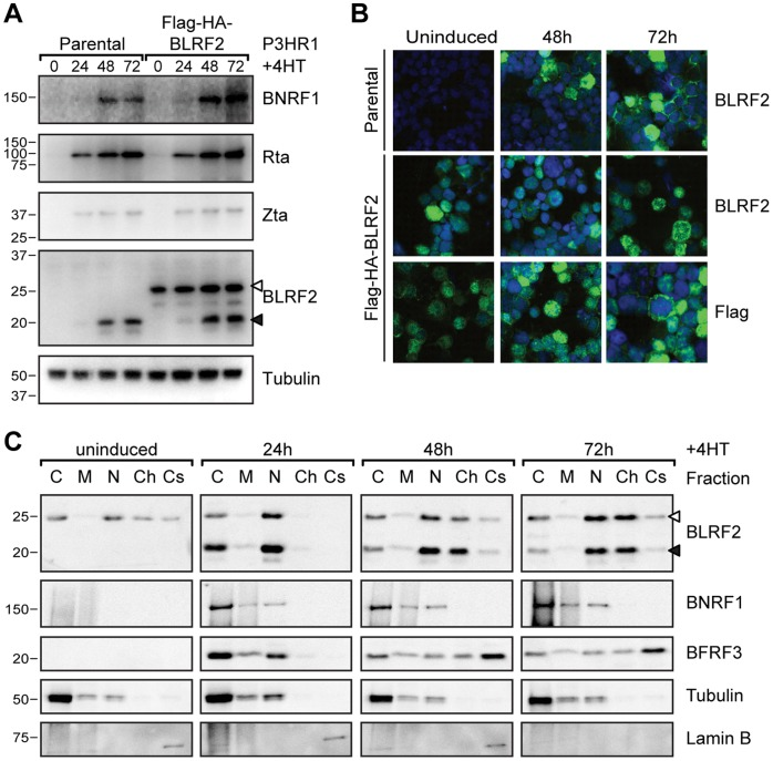 Characterization of BLRF2 during EBV replication. (A) Time course of EBV protein expression using whole cell lysates from P3HR1-ZHT cells (parental) or P3HR1-ZHT cells stably expressing FLAG-HA-BLRF2 induced with 4HT for 0, 24, 48 or 72 hours. Detection of tubulin serves as loading control. Endogenous BLRF2 is indicated with a solid arrowhead and FLAG-HA-BLRF2 with an open arrowhead. (B) Immunofluorescence microscopy to determine BLRF2 localization during EBV replication in P3HR1-ZHT cells (parental, top panel) or P3HR1-ZHT cells stably expressing FLAG-HA-BLRF2 (FLAG-HA-BLRF2, bottom panels), either uninduced (left) or induced with 4-Hydroxytamoxifen (4HT) for 48 hours (middle) or 72 hours (right). Anti-BLRF2 and anti-FLAG staining are shown in green and DNA staining is shown in blue. (C) Subcellular fractionation of EBV proteins and control cell proteins from P3HR1-ZHT cells stably expressing FLAG-HA-BLRF2 induced for replication with 4HT for 0, 24, 48 or 72 hours. Equal relative amounts of the cytosol (C), membrane and organelles (M), nucleus (N), chromatin bound (Ch) and cytoskeletal (Cs) fractions were probed for the indicated proteins. Tubulin served as a control for the cytosol fraction and Lamin B for the cytoskeleton fraction. As for panel A, endogenous and FLAG-HA tagged BLRF2 are indicated with filled and open arrowheads, respectively.
