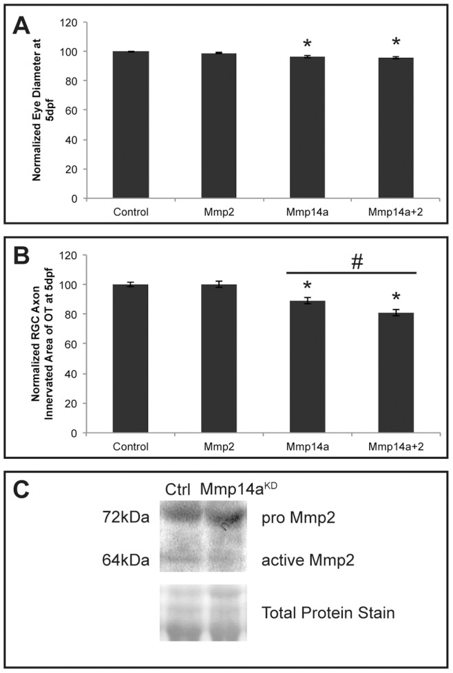 In vivo interaction between Mmp14a and <t>Mmp2.</t> A, B Quantitative analysis of eye size ( A ) and tectal area innervated by RGC axons ( B ) after single or combined suboptimal knockdown of Mmp14a and Mmp2 in 5 dpf embryos reveals that suboptimal knockdown of Mmp2 does not affect eye size nor OT innervation. However, combined knockdown of Mmp14a and Mmp2 results in embryos with normal eye size but a significantly reduced RGC axon innervation area in the OT, as compared to the Mmp14a suboptimal knockdown embryos ( n = 75 from 3 independent experiments). C Western blot for Mmp2 on extracts of control and Mmp14a morphant embryos at 30 hpf shows reduced levels of active Mmp2 protein (64 kDa) in Mmp14a morphant embryos. Total protein coomassie blue staining was used for loading control. Data are represented as mean ± SEM (* p