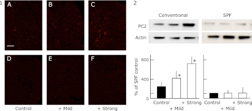 The expression of <t>PC2</t> in the pituitary gland of SPF (D, E and F) and conventional (A, B and C) NC/Nga mice by immunohistochemistry (Fig. 4 -1) and by western blot analysis (Fig. 4 -2). The data show a typical experiment from 10 animals. Scale bar = 10 µm. Values are mean ± SD derived from 10 animals. * p