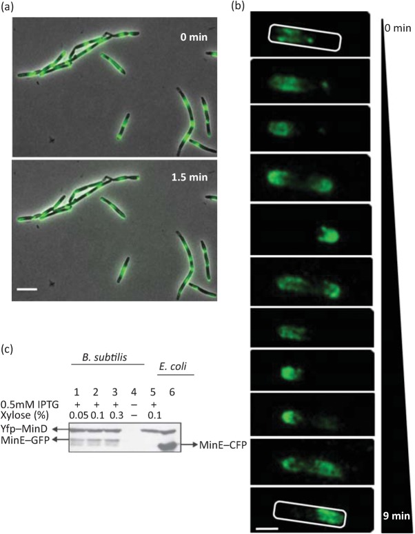 E. coli MinD can oscillate in the presence of MinE in B. subtilis. (a) Fluorescence micrographs showing localization of YFP–MinD Ec in B. subtilis strain IB1242 (Δ minD Bs Δ divIVA yfp–minD Ec minE ). In most cells, oscillation of YFP fluorescence could be observed, although in some cells the fluorescence signal appears in the form of dots with reduced mobility. The images were taken with an Olympus BX61 microscope. Two pictures were taken 1.5 min apart. Scale bar, 5 µm. (b) Localization of YFP–MinD Ec in a single cell of strain IB1230 (Δ minD Bs yfp–minD Ec minE ). Images were captured using an Olympus BX61 microscope over a period of 9 min and the frames were deconvolved using Huygens Essential software. Scale bar, 1 µm. (c) Relative quantification of YFP–MinD (upper band) and MinE–GFP (lower band, lanes 1–3) in B. subtilis and MinE–CFP (lower band, lane 6) in E. coli by Western blotting. Anti-GFP antibody was used for detection of YFP–MinD, MinE–GFP and MinE–CFP. Lanes 1–3 represent B. subtilis strain IB1155 (Δ minD Bs yfp–minD Ec minE–gfp ) in which expression of yfp–minD is induced with 0.5 mM IPTG and minE–gfp is induced with three different concentrations of xylose, ranging from 0.05 to 0.3 %. Lane 4 represents a negative control, strain IB1056 (Δ minD Bs ). Lane 5 is strain IB1230 (Δ minD Bs yfp–minD Ec minE ) with expression induced using 0.5 mM IPTG and 0.1 % xylose. Lane 6 represents E. coli strain YLS1 : : pYLS68 grown as described elsewhere ( Shih et al. , 2002 ).