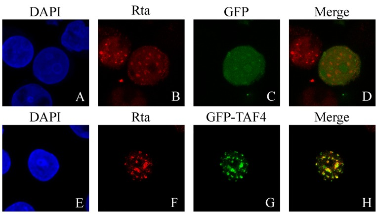 Indirect immunofluorescence analysis. P3HR1 cells were transfected with pEGFP-C1 (A–D) or pEGFP-TAF4 (E–H) and then treated with sodium butyrate for 24 hr. Cells were incubated with monoclonal anti-Rta antibody and observed under a confocal laser-scanning microscope. DAPI staining revealed the positions of nuclei (A and E). D and H are merged images.