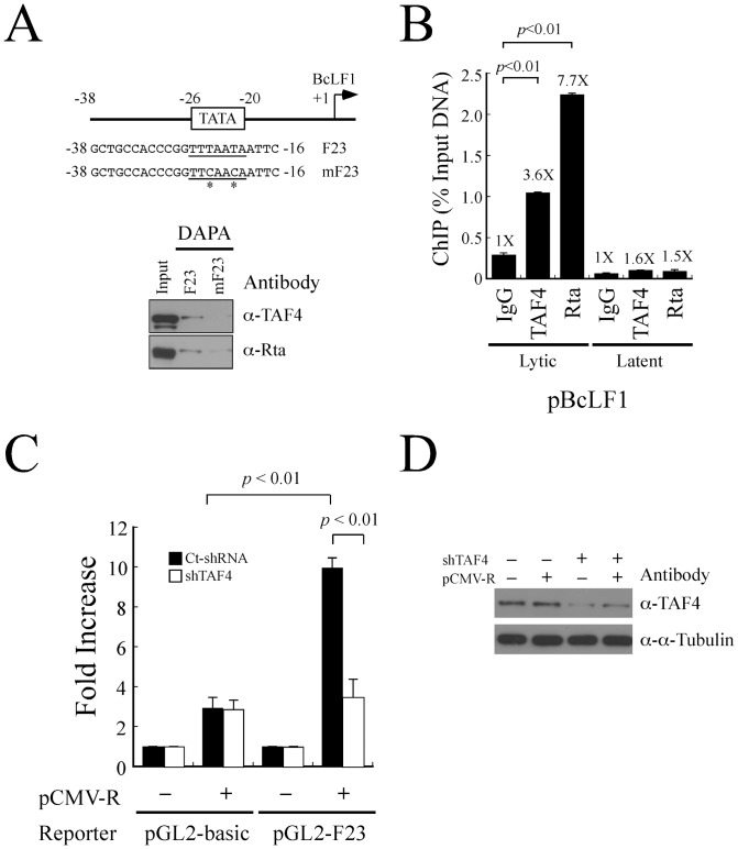 Involvement of TAF4 in the activation of the BcLF1 promoter by Rta. (A) Biotin-labeled double-stranded F23 probes were added to a lysate prepared from P3HR1 cells that had been treated with TPA and sodium butyrate for 52 hr. Mutant probes mF23 that contains mutated sequences (asterisk) was used as negative controls. Proteins bound to the probes were captured by the streptavidin magnetic beads and detected by immunoblotting analysis using anti-TAF4 and anti-Rta antibodies. Input lanes were loaded with 5% of the cell lysate. DAPA: DNA affinity precipitation assay. (B) P3HR1 cells were treated with TPA and sodium butyrate for 52 hr. Formaldehyde-fixed DNA-protein complex was immunoprecipitated using anti-TAF4 or anti-Rta antibody. The reaction with added anti-IgG antibody was used as a negative control. The binding of TAF4 and Rta to the BcLF1 promoter was investigated by qPCR. Error bar represents standard error. (C) 293T cells were cotransfected with pCMV-R and pGL2-F23 or a control vector pGL2-basic in the presence of control shRNA (Ct-shRNA) (filled column) or TAF4 shRNA (shTAF4) (empty column). Luciferase activity was detected at 48 hr after transfection. Each transfection experiment was performed three times, and each sample in the experiment was prepared in duplicate. (D) The effect of TAF4 shRNAs was examined by immunoblotting with anti-TAF4 and anti-α-tubulin antibodies. The p value from each experiment was analyzed statistically with the Student's t- test method.