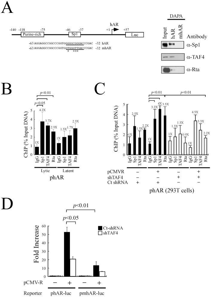 Role of TAF4 in the transcription of human androgen receptor by Rta. (A) An hAR reporter plasmid and sequences of biotin-labeled probes, hAR and mhAR. The probes were added to a lysate prepared from P3HR1 cells that had been treated with TPA and sodium butyrate. Proteins bound to the probes were captured by streptavidin magnetic beads and detected by immunoblot analysis using anti-Sp1, anti-TAF4 and anti-Rta antibodies. Input lanes were loaded with 5% of the cell lysate. DAPA: DNA-affinity precipitation assay. (B) P3HR1 cells that had been treated with TPA and sodium butyrate for 48 hr (lytic) or treated with DMSO (latent) were fixed with formaldehyde and the DNA-protein complexes were immunoprecipitated with anti-Sp1, anti-TAF4 and anti-Rta antibodies. The binding of Sp1, TAF4 and Rta to the hAR promoter was investigated by qPCR. (C) 293T cells were cotransfected with pCMV-R and TAF4 shRNA (empty column) or control shRNA (filled column) for 48 hr. CHIP assay was subsequently performed. The reaction with added anti-IgG antibody was used as a negative control. Error bar represents standard error. (D) 293T cells were cotransfected with pCMV-R and a reporter plasmid including phAR-luc or pmhAR-luc, in the presence of control shRNA (Ct-shRNA) (filled column) or TAF4 shRNA (empty column). Luciferase activities were monitored at 48 hr after transfection. Each transfection experiment was performed at lease three times, and each sample in the experiment was prepared in duplicate. The p value from each experiment was analyzed statistically with the Student's t- test method. Luc: luciferase gene.