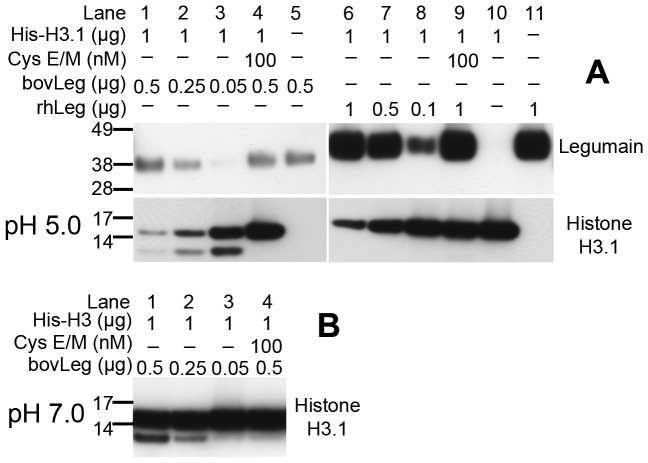 Cleavage of histone H3.1 by active legumain. (A) Immunoblots showing the cleavage of intact (lane 10) recombinant human histone H3.1 in a dose dependent manner by purified mature 36 kDa bovine legumain (bovLeg, lane 1–3) and auto-activated intermediate form (46 kDa) of recombinant human legumain (rhLeg, lane 6–8). The addition of recombinant human cystatin E/M (lane 4 and 8) efficiently blocked legumain activity and resulted in almost complete rescue of histone H3.1 from proteolytic cleavage. Uncut immunoblots ( Fig. S2D ). (B) Immunoblot of histone H3.1 showing the dose-dependent production of a 12 kDa cleavage product after incubation of recombinant histone H3.1 with fully mature 36 kDa bovine legumain in a buffer with pH 7.0 (lane 1–3). Addition of recombinant human cystatin E/M efficiently blocked legumain activity and resulted in virtually no formation of the 12 kDa cleavage product (lane 4).