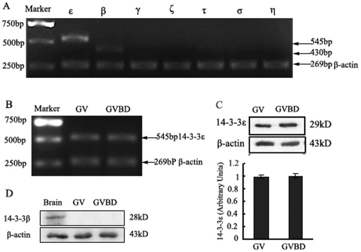 """Identification of 14-3-3 isoforms expressed in GV and GVBD mouse oocytes. (A) the mRNA levels of 14-3-3 isoforms at GV stage of mouse oocytes. mRNA of 120 mouse oocytes of GV stage were extracted (described in the"""" Materials and Methods """" Section). RT-PCR products using primers for specific 14-3-3 isoforms are observed in ethidium bromide-stained agarose gel. ε, β, γ, η, σ, τ and ζ represent seven 14-3-3 isoforms. (B) the mRNA levels of 14-3-3ε at GV and GVBD stage of mouse oocytes. Line GV: mouse oocytes at GV stage. Line GVBD: mouse oocytes at GVBD stage. (C) A protein band of approximately 28 kDa from 200 mouse oocytes at GV or GVBD stage is detectable by Western blot with an anti-14-3-3ε antibody (upper panel). In contrast an <t>anti-β-actin</t> antibody detected a low molecular weight band of approximately 43 kDa (lower panel). (D) Western blot analysis 14-3-3β protein expression with an anti-14-3-3β antibody from 300 mouse oocytes at GV or GVBD stage, A protein band of approximately 29 kDa (upper panel). Line Brain: mouse brain protein as positive control. Shown is a representative of three independent experiments."""