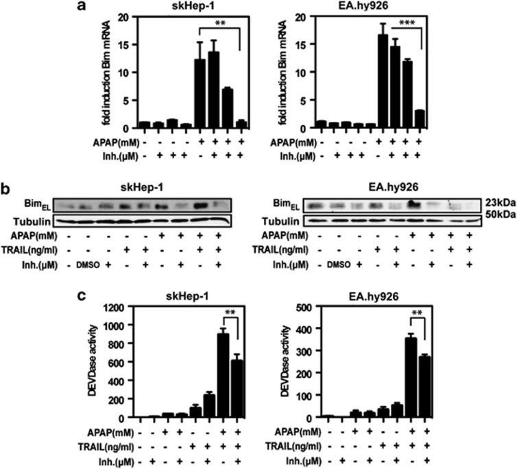 Paracetamol induced Bim expression is JNK-dependent. skHep-1 or EA.hy926 cells were pretreated (60 min) with increasing concentrations of the JNK inhibitor V (1, 3 and 10 μ M) and stimulated with 10 mM paracetamol for 6 h. bim -mRNA expression was measured by quantitative RT-PCR. GAPDH was used to normalize bim -expression levels ( a ). skHep-1 and EA.hy926 cells were treated as described above and Bim protein expression was analyzed by western blot. Tubulin was used to normalize protein loadings ( b ). After pretreatment with 3 μ M JNK inhibitor V, cells were stimulated with 10 mM paracetamol and 30 ng/ml, respectively 3 ng/ml TRAIL, or the combination thereof for 6 h and DEVD cleavage was measured ( c ). Mean values±S.D. triplicates are shown for quantitative RT-PCR and DEVDase assay. A typical experiment out of three is shown for western blot analysis. ** P