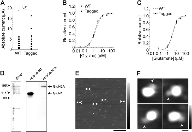 Expression, isolation, and analysis of NMDA receptors. A–C , functional properties of wild-type and FLAG/His 8 -tagged GluN2A coexpressed with untagged GluN1 in Xenopus oocytes. A , currents activated by saturating concentrations of l -glutamate and glycine (100 μ m for both) in Xenopus oocytes expressing untagged GluN1 in combination with either wild-type (●; n = 9) or tagged (♦; n = 16) GluN2. The horizontal lines denote the means of the two distributions, which are not significantly ( NS ) different from each other ( p = 0.174, Student's t test). B , glycine concentration-response curves in the presence of 100 μ m glutamate. Curves were fitted with the Hill equation. EC 50 values were 1.7 ± 0.1 and 1.4 ± 0.1 μ m for wild-type and tagged GluN2A, respectively. Hill coefficients ( n H ) were 1.4 ± 0.1 and 1.4 ± 0.1 for wild-type and tagged GluN2A, respectively ( n = 3–4). C , glutamate concentration-response curves in the presence of 100 μ m glycine. EC 50 values were 3.9 ± 0.2 and 3.8 ± 0.2 μ m for wild-type and tagged GluN2A, respectively. n H values were 1.4 ± 0.1 and 1.6 ± 0.1 for wild-type and tagged GluN2A, respectively ( n = 3–4). D , samples of protein isolated from cotransfected HEK293T cells by affinity chromatography were analyzed by SDS-PAGE, followed by either silver staining ( left panel ) or immunoblotting using anti-GluN1 and anti-GluN2A antibodies ( right panel ). E , low-magnification AFM image of a sample of isolated NMDA receptors ( arrowheads ). Scale bar = 200 nm; shade-height scale = 0–5 nm. F , gallery of zoomed images of NMDA receptor particles that were decorated with an anti-GluN1 antibody ( arrowheads ). Scale bar = 20 nm; shade-height scale = 0–5 nm.