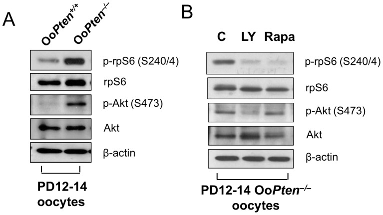 Enhanced Akt-rpS6 activation and in vitro inhibition of rpS6 activation in Oo Pten −/− oocytes by rapamycin. ( A ) Comparison of Akt-rpS6 signaling in Oo Pten −/− and Oo Pten +/+ oocytes. Oocytes were isolated from ovaries of mice at postnatal day 12–14 and immunoblotting was performed as described in Materials and Methods . Loss of PTEN led to enhanced PI3K signaling as indicated by an increase in phosphorylated Akt (p-Akt). The level of phosphorylated rpS6 (p-rpS6) was also increased in Oo Pten −/− oocytes compared with Oo Pten +/+ oocytes. Levels of total rpS6, Akt, and β-actin were used as internal controls. ( B ) Activation of rpS6 in Oo Pten −/− oocytes is dependent on mTORC1 signaling. Oocytes were isolated from ovaries of Oo Pten −/− mice at PD 12–14 as described in Materials and Methods . Treatment of oocytes with the mTORC1-specific inhibitor rapamycin (Rapa, 50 nM) for 2 h was found to largely suppress levels of phosphorylated rpS6 (p-rpS6), but did not affect the level of phosphorylated Akt (p-Akt). As a control, treatment of Oo Pten −/− oocytes with the PI3K-specific inhibitor LY294002 (LY, 50 µM) for 2 h also largely suppressed levels of phosphorylated rpS6 (p-rpS6), but it also suppressed the level of phosphorylated Akt (p-Akt). This suggests that activation of rpS6 in Oo Pten −/− oocytes is dependent on both PI3K and mTORC1 signaling. Levels of total Akt, rpS6, and β-actin were used as internal controls.
