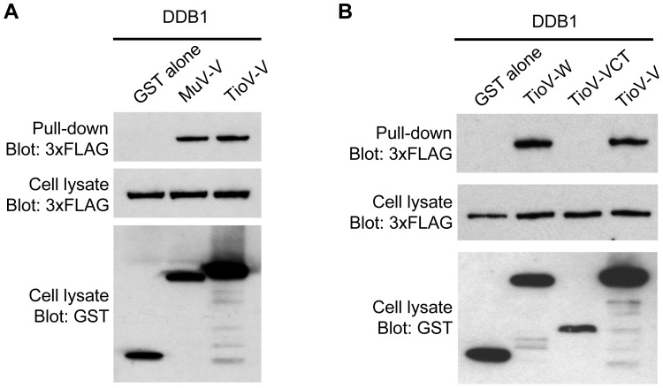 TioV-V binds DDB1. (A–B) HEK-293T cells were co-transfected with expression vectors encoding GST alone or fused to MuV-V ( A ), TioV-V ( A–B ), TioV-W ( B ) or TioV-VCT ( B ) (500 ng/well), and pCI-neo-3xFLAG expression vectors (300 ng/well) encoding for 3xFLAG-tagged human DDB1 ( A–B ). Total cell lysates from transfected cells were prepared at 48 h post-transfection (cell lysate; middle and lower panels), and protein complexes were assayed by pull-down using glutathione-sepharose beads (GST pull-down; upper panel). 3xFLAG- and GST-tagged proteins were detected by immunoblotting.