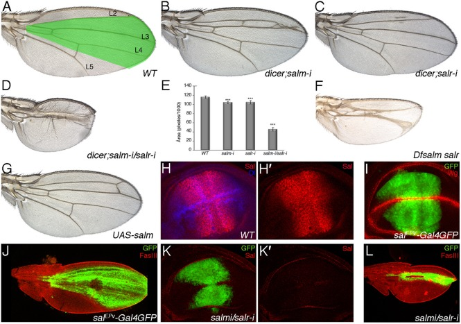 Phenotype of salm and salr mutant wings and development of the Sal domain of expression in wild type and sal mutant discs and pupal wings. ( A ) Wild type wing showing the territory of salm/salr expression (green shadowing) and the longitudinal veins L2 to L5. ( B , C ) Phenotype of loss of salm and salr in flies of genotype UAS-dicer2/+ ; sal EPv -Gal4 UAS-GFP/UAS-salm-i ( salm-i in B) and UAS-dicer2/+ ; sal EPv -Gal4 UAS-GFP/+; UAS-salr-i/+ ( salr-i in C). ( D ) Loss of both genes ( UAS-dicer2/+; sal EPv -Gal4 UAS-GFP/UAS-salm-i; UAS-salr-i/+ ) results in a much stronger phenotype of wing size reduction and in the loss of the L2 and L4 veins. ( E ) Quantification of wing size (measured in pixels/1000) in 10 wings of WT, UAS-dicer2/+; sal EPv -Gal4 UAS-GFP/UAS-salm-i , UAS-dicer2/+; sal EPv -Gal4 UAS-GFP/+; UAS-salr-i/+ and UAS-dicer2/+; sal EPv -Gal4 UAS-GFP/UAS-salm-i; UAS-salr-i/+ . Bars represent mean ± SEM. ***p-value