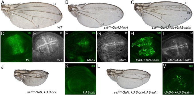 Genetic relationships between Sal and the Dpp pathway. ( A ) Wild type wing. ( B ) sal EPv -Gal4/+; UAS-Mad-i/UAS-GFP . The reduction in Mad expression in the sal EPv -Gal4 domain of expression results in smaller wings that loss most of the L2, L3 and L4 veins. ( C ) sal EPv -Gal4/+; UAS-Mad-i/UAS-salm . The expression of Salm under UAS control in wings with a reduction in Mad expression rescues the differentiation of the L2, L3 and part of the L4 veins. ( D–I ) Expression of Salm (Salm, green in D,F,H) and Dl (Dl, white in E,G,I) in wild type (D,E), sal EPv -Gal4/+; UAS-Mad-i/UAS-GFP (F,G) and sal EPv -Gal4/+; UAS-Mad-i/UAS-salm third instar imaginal wing discs (H,I). Note that the expression of both Salm and Dl is strongly reduced in the central region of the wing blade in F and G, the expression of Salm is strong in H, and the expression of Dl is rescued in the L3 vein in I. ( J–M ) No rescue by Salm of the consequences of Brk expression in the central region of the wing blade. The phenotype of sal EPv -Gal4/UAS-GFP; UAS-brk/+ wings consists in a strong reduction of wing size and loss of the L2 and L4 veins (J). In the corresponding wing imaginal disc the expression of Salm is strongly reduced (K). The phenotype of ectopic brk expression is weakly rescued by the expression of Salm in flies of sal EPv -Gal4/+; UAS-brk/UAS-salm genotype (L). In the corresponding wing disc, however, Salm is only expressed in a patchy pattern (M), probably due to the effects of Brk on the Gal4 driver.
