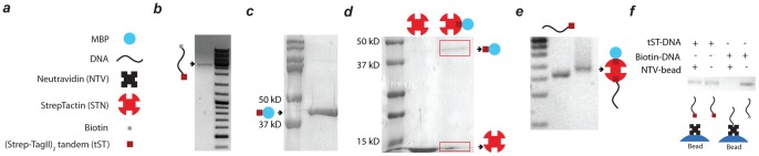 Hierarchical synthesis of protein-DNA hybrids. (a) Schematic drawing of the building blocks (b) 1% agarose gel demonstrating construction of tST-DNA-biotin hybrid at 2553 bps (c) SDS-PAGE analysis illustrating production of tST-MBP in Ecoli BL21.1 (d) SDS-PAGE characterization of STN-tST-MBP hybrid after amylose column purification. STN decomposes into monomers upon boiling. The schematic represents the expected dominant stoichiometry of the complex but does not exclude the possibility of minor amounts of complexes with other stoichiometries. (e) 1% agarose gel confirming the formation of multi protein-DNA hybrid (f) 1% agarose gel showing the presence and absence of DNA strand in the supernatant of incubated NTV beads by tST-DNA and biotin-DNA respectively. Biotinylated DNA easily binds to NTV, tST labelled DNA does not and remains in the supernatant.