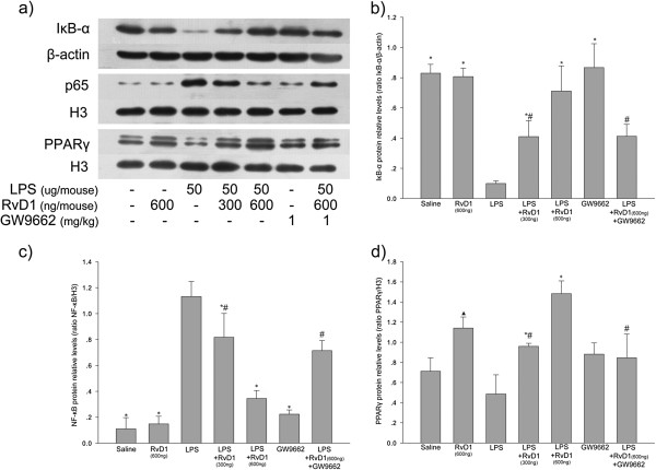 Effect of RvD1 on LPS-induced changes in expression of IκBα, NF-κB p-65 subunit and PPARγ in lung tissues. (a) Expression levels of IκBα, NF-κB p-65 and PPARγ. Histograms show mean ± S.D. (n = 3) of the relative intensity of (b) IκBα protein bands normalized to the β-actin band, (c) NF-κB p-65 protein bands normalized to the histone H3.1 band, and (d) PPARγ protein bands normalized to the histone H3.1 band. * p