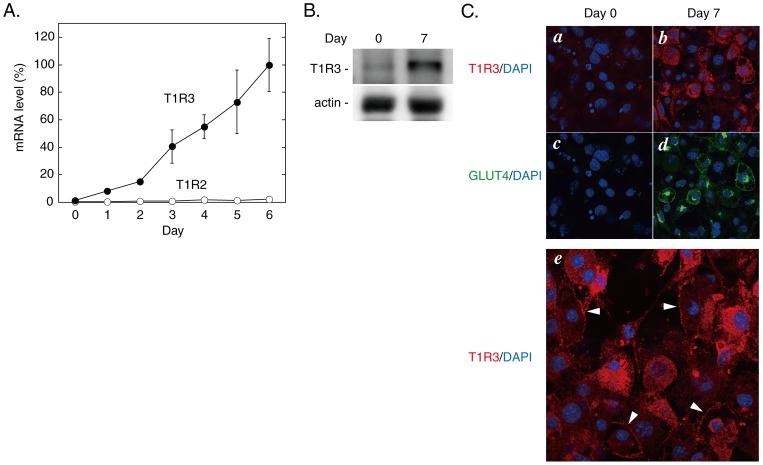 Expression of T1Rs during differentiation of 3T3-L1 cells. A. The total RNAs prepared from 3T3-L1 cells at the indicated time points during differentiation were subjected to quantitative RT-PCR using mouse ribosomal protein S18 as an internal control as described in`Materials and Methods'. The mRNA levels of T1R2 and T1R3 are shown as the percentage of that of T1R3 at Day 6. Results are shown as the mean ± SE (n = 3–6). B. Immumoblot data for T1R3 and actin in undifferentiated (Day 0) and differentiated (Day 7) 3T3-L1 cells. C. Immunofluorescence staining images for T1R3 ( a and b , red) and GLUT4 ( c and d , green) in undifferentiated (Day 0, a and c ) and differentiated (Day 7, b and d ) 3T3-L1 cells. Nuclei were visualized with DAPI (blue). e , Subcellular distribution of T1R3 (red) in Day 7 cells. Arrowheads indicate peripheral localization of T1R3.