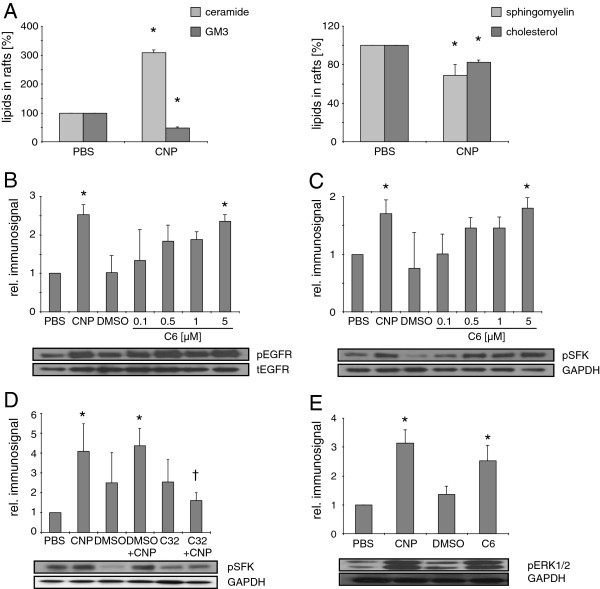 CNP trigger lipid changes in rafts and subsequent EGFR and SFK activation. RLE-6TN cells were incubated with CNP [10 μg/cm 2 , 5 min] or the indicated doses of <t>C6</t> ceramide [μM, 15 min] respectively. ( A ) Amount of ceramide, GM3, sphingomyelin, and cholesterol was detected after HPTLC. ( B ) Phosphorylation of EGFR at Tyr 1173 , ( C + D ) SFK at Tyr 416 , and ( E ) ERK1/2 determined by Western Blot using phospho-specific antibodies. Equal loading was confirmed with GAPDH or total EGFR. C32, compound 32, * significantly different from respective control, † significantly different from CNP-treatments without C32 pre-treatment [10 μM, 1 h].