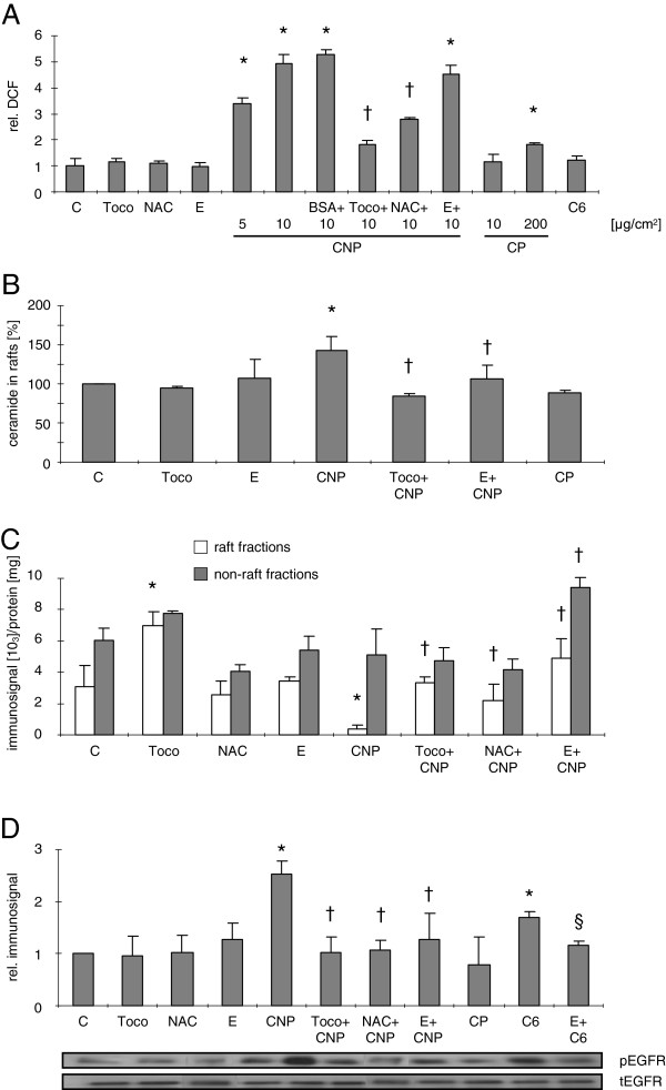 Ectoine as well as antioxidants prevent ceramide generation and subsequent receptor translocation. ( A ) Flow cytometric analysis of intracellular ROS generation in RLE-6TN cells measured by relative intracellular DCF fluorescence after treatment with the indicated doses of CNP [μg/cm 2 , 1 h], CP [μg/cm 2 , 1 h], BSA-coated CNP, or C6 ceramide [5 μM, 15 min] and pre-treatment with the respective inhibitors tocopherol [Toco; 50 μM] N-acetylcysteine [NAC; 0.1 mM], or ectoine [E; 1 mM]. C indicates respective vehicle controls. ( B ) Amount of ceramide generation was detected by lipid extraction and HPTLC in RLE-6TN cells. ( C ) EGFR translocation as described in Figure 2 after treatment and pre-treatment as described above. ( D ) EGFR activation as described in Figure 1 after treatment and pre-treatment as described above. Means in A , C , and D are given as values relative to the respective controls. *, Significantly different from control; †, significantly different from 10 μg/cm 2 CNP alone; §, significantly different from C6 alone.