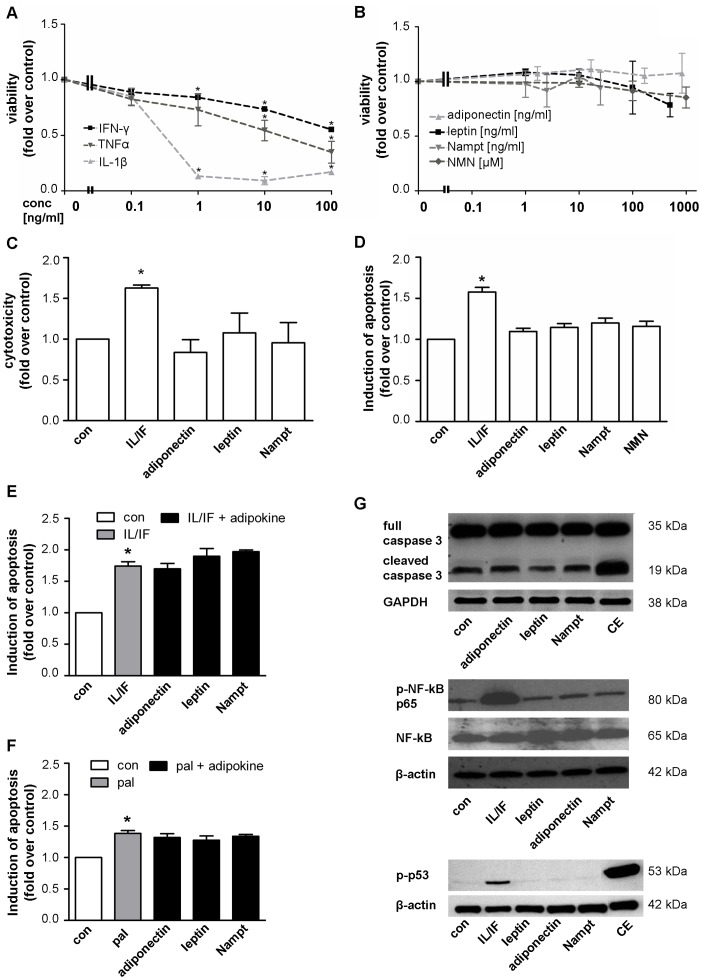 The adipocytokines leptin, adiponectin, Nampt and NMN have no direct effects on beta-cell survival in INS-1E cells. INS-1E cells were kept under serum-free conditions 24 h before and during the 48 h experiment. ( A,B ) INS-1E cells were exposed to cytokines ( A : IL-1β, IFN-γ or TNFα) or adipocytokines ( B : adiponectin, leptin, Nampt, NMN) at the indicated concentrations for 48 h and cell viability was measured by WST-1 assay. Data are shown as means ±SEM of 3 independent experiments performed in triplicates. Statistical analyses were performed by one-way ANOVA with Bonferroni's Multiple Comparison Test as posthoc test. C,D : INS-1E cells were exposed to adipocytokines (adiponectin 167 ng/ml, leptin 200 ng/ml, Nampt 2.5 ng/ml, NMN 100 µM) or a cytokine combination (10 ng/ml IL-1β+10 ng/ml IFN-γ) for 48 h. Cytotoxicity ( C ) was analyzed by measuring the release of adenylate kinase into the supernatant and ( D ) apoptosis was measured by FITC-annexinV (An) and propidium iodide (PI) staining and subsequent flow cytometric analysis of An-positive and double An/PI positive cells. Results were expressed relative to cells exposed to serum free medium (con) and as means ±SEM of three independent experiments performed in triplicates. E,F : INS-1E cells were exposed to a cytokine combination (IL/IF; 10 ng/ml IL-1β+10 ng/ml IFN-γ) ( E ) or 0.25 mM palmitate (pal) ( F ) for 48 h in the absence or presence of the adipocytokines (167 ng/ml adiponectin, 200 ng/ml leptin, 2.5 ng/ml Nampt) and induction of apoptosis was measured by An/PI staining and flow cytometric analysis. Data are shown as means ±SEM of triplicates of three independent experiments. Statistical analyses were performed by student´s t-test. G: INS-1E cells were exposed to the adipocytokines adiponectin (167 ng/ml), leptin (200 ng/ml) or Nampt (2.5 ng/ml) or a combination of camptothecin (2 µM) and etoposide (85 µM; CE, upper and lower panel ) or a cytokine combination (10 ng/ml IL-1β+10 ng/ml IFN-γ, middle and lower panel ). Western blot analyses were performed for full length and cleaved caspase-3 ( upper panel ), phospho-NF-κB p65 (Ser536) and NF-κB p65 ( middle panel ) and phospho-p53 (Ser15) ( lower panel ). GAPDH or beta-actin were used as loading control. All panels show one typical blot out of three independent experiments. *p