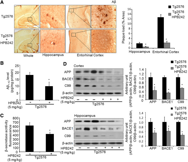 Inhibitory effects of HPB242 on accumulation of Aβ 1-42 in the brain of Tg2576 mice. Aβ accumulation in the brains of Tg2576 mice was determined by immunohistochemical analysis using Aβ 1-42 -specific antibody ( A ). The sections of Tg2576 mouse brains were incubated with anti-Aβ 1-42 primary antibody, and biotinylated secondary antibody. Immunoperoxidase staining of brains of Tg2576 and treated-Tg2576 mice shown (brown color). Aβ 1-42 level was measured in mouse brains by ELISA as described in Materials and Methods ( B ). The value is mean ± standard error of the mean (SEM) (n = 8 mice). The activity of β-secretase was investigated using assay kit as described ( C ). Values measured from each group of mice were calibrated by the amount of protein and expressed as mean ± SEM (n = 8 mice). The expression of APP and BACE1 were detected by western blotting using specific antibodies in the mouse brain. Each blot is representative of three experiments ( D ). *Significantly different from non-treated Tg2576 mice ( P