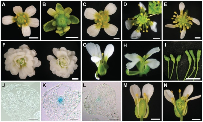 Phenotypes of ag-10 pwr-1 in combination with loss-of-function mutations in other floral determinacy regulators. (A) clv3-1 flower with supernumerary organs in all four whorls. (B) clv3-1 ag-10 pwr-1 triple mutant flower. Compared to clv3-1 , flowers of the triple mutant are small, have more carpels, and have shortened and bulged gynoecia often containing internal flowers. (C) sup-1 flower with aberrant carpels and more stamens than wild-type. (D) sup-1 ag-10 double mutant flower. These flowers are more strongly indeterminate compared to sup-1 : more stamens are produced, and a mass of undifferentiated cells is visible at the center of the flower (magnified and indicated with an arrow in the inset). (E) sup-1 ag-10 pwr-1 triple mutant flower. (F) ag-1 (left) and ag-1 pwr-1 (right) flowers. pwr-1 does not enhance the indeterminacy defects of ag-1 flowers. (G) wus-1 flower exhibiting premature termination of floral development. (H) wus-1 ag-10 pwr-1 flower. Along with wus-1 pwr-1 (not shown), flowers of the triple mutant resemble wus-1 single mutant flowers. (I) ag-10 pwr-1 (left) and ap2-2 ag-10 pwr-1 (right) gynoecia. The ap2-2 mutation reduced the indeterminacy defects of ag-10 pwr-1 : the triple mutant gynoecia were less bulged compared to ag-10 pwr-1 , and a smaller percentage contained internal floral organs. (J) Longitudinal section of a stage 7 ag-10 pWUS:GUS flower showing the absence of GUS staining in the floral meristem. (K) Longitudinal section of a stage 7 or stage 8 ag-10 pwr-1 pWUS:GUS flower showing GUS staining in the floral meristem. (L) Longitudinal section of a stage 11 ag-10 pwr-1 pWUS:GUS flower. (M) crc-1 flower and (N) crc-1 pwr-1 flower with floral organs partially removed to reveal the gynoecia. While crc-1 single mutant flowers have unfused carpels and rarely exhibit indeterminacy defects, approximately half of all crc-1 pwr-1 gynoecia dissected contained internal floral organs. Scale bars = 10 µm in (J) to (L), 5 mm in (I), and 1 mm in all other panels.