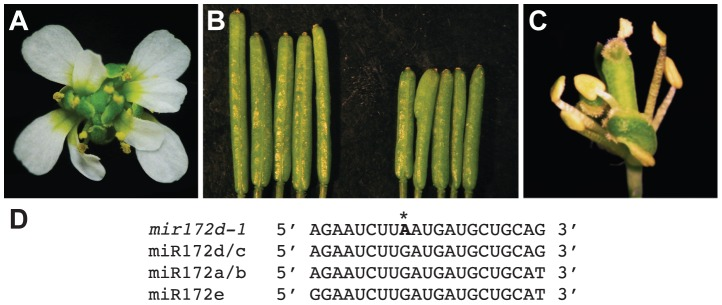 Phenotype of the mir172d-1 single mutant and of mir172d-1 in combination with ag-10 and ap2-2 . (A) ag-10 mir172d-1 flower. (B) L er (left) and mir172d-1 (right) siliques. The gynoecia of mir172d-1 occasionally have three fused carpels instead of two. (C) ap2-2 ag-10 mir172d-1 flower. (D) Mature miR172 sequences and the site of the G-to-A mutation in mir172d-1 (indicated by *).