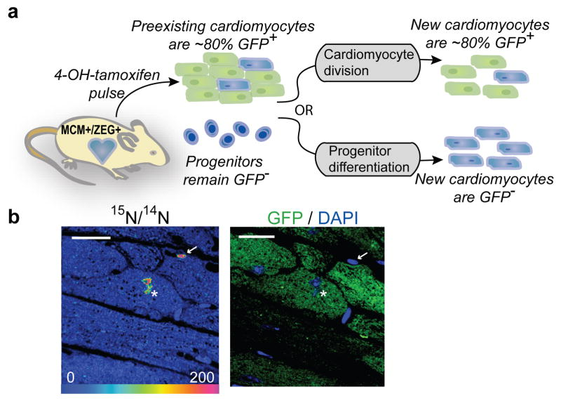 New cardiomyocytes are derived from pre-existing cardiomyocytes during aging a) Experimental strategy. <t>MerCreMer</t> + /ZEG + mice (n=4) treated for 2 wks with 4OH-tamoxifen to induce <t>cardiomyocyte-specific</t> GFP expression. 15 N-thymidine administered continuously during 10 wk chase, then cycling cells identified by 15 N-labeling. New cardiomyocytes ( 15 N + ) derived from preexisting cardiomyocytes should express GFP at a rate similar to surrounding quiescent ( 15 N − ) cardiomyocytes. New cardiomyocytes ( 15 N + ) derived from progenitors should be GFP − . b) Left: 15 N: 14 N HSI image demonstrating 15 N-thymidine labeled cardiomyocyte nucleus (white asterisk) and 15 N-labeled non-cardiomyocyte (white arrow). Right: Immunofluorescent image showing 15 N-labeled cardiomyocyte is GFP + . Scale bar = 15μm.