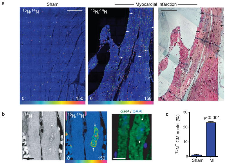 Myocardial injury stimulates division of pre-existing cardiomyocytes a) Myocardial infarction (MI) leads to extensive DNA synthesis within and adjacent to scar (arrows). MerCreMer + /ZEG + mice were treated for 2 wks with 4OH-tamoxifen to induce cardiomyocyte-specific GFP expression before MI or sham surgery, then 15 N-thymidine administered continuously for 8wks. Mosaics of 70 60×60μm MIMS tiles. Trichrome stained adjacent section (far right) shows scar. Scale bars = 90μm. b) 15 N-thymidine labeled cardiomyocyte nucleus (white arrows) from MI border region. Immunofluorescent staining demonstrates that the cardiomyocyte is GFP + . Scale bars = 10 μm. c) Mean % 15 N + cardiomyocyte nuclei after MI (n=4) in the scar border region compared to sham operated mice (n=3). Mean% ± S.E.M.